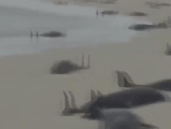 西非海滩136只海豚死亡:近200只因不明原因搁浅