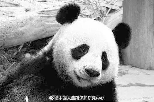 """旅泰大熊猫""""创创""""死亡结果通报;慢性心力衰竭为什么一直没有发现?"""