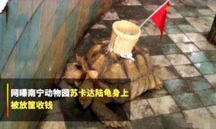 动物园在龟背上粘筐收钱 还绑着一面五星红旗