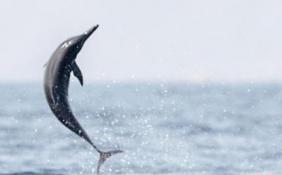两只海豚被困巴厘岛15年终获救 那里曾关5头海豚