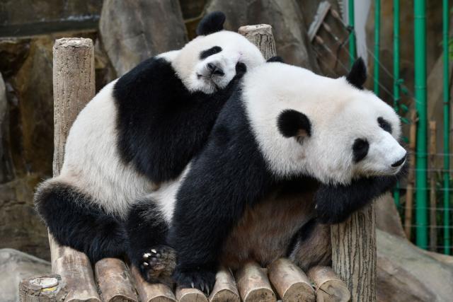 """动物园熊猫被砸 不文明游客被列入""""黑名单"""""""